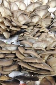 25-champignons gris