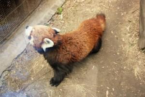 02_panda roux