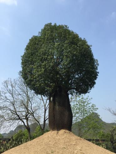 08-Baobab