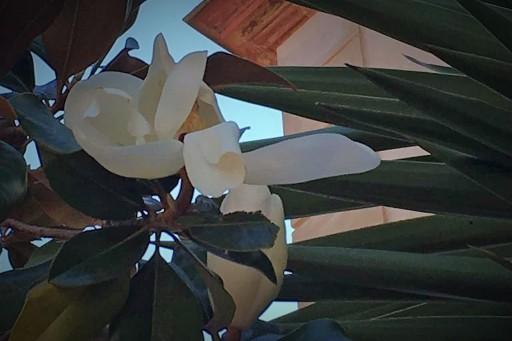 19.Les magnolias